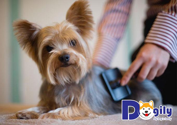 Yorkshire Terrier rất thích làm quen với những người bạn mới trong nhà