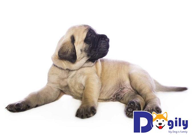 Rèn luyện giống chó Mastiff ngay từ khi còn nhỏ để không tốn quá nhiều công sức
