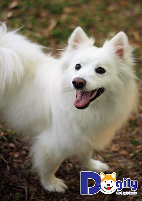 Tất tần tật thông tin về giống chó Eskimo