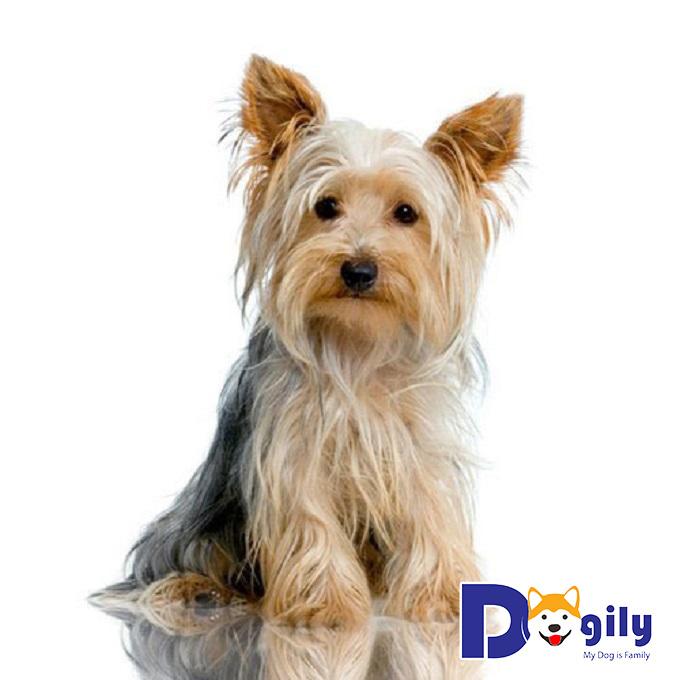 Yorkshire Terrier sở hữu bộ lông dài, dày và mọc rất nhiều bao phủ toàn thân