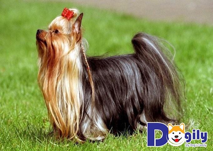 Những chú chó sục Yorkshire có tứ chi thẳng, lông bao phủ và nhìn rất đáng yêu