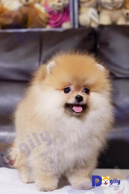 Chó Phốc sóc Pomeranian màu vàng kem 2,5 tháng tuổi bán tại hệ thống Dogily Petshop