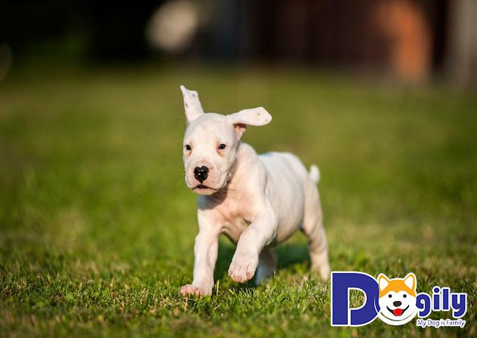 Các chú Dogo Argentino rất thích sống độc lập, không sống chung với những loài thú cưng khác.