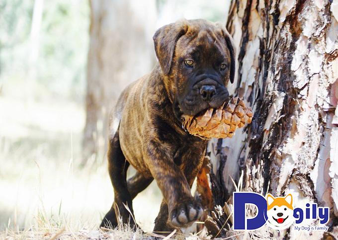 Các chú chó ngao bò cần vận động để tránh béo phì