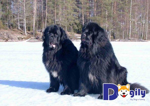 Giống chó Newfoundland đến từ vùng biển phía đông của Canada