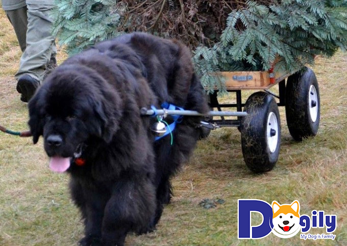 Các chú chó Newfoundland có thể giúp bạn kéo xe và phụ giúp các công việc trong gia đình