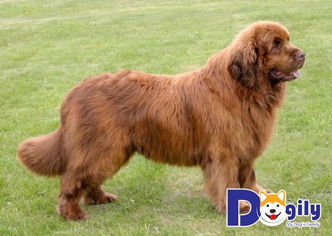 Chó Newfoundland có ngoại hình tương đối cao lớn