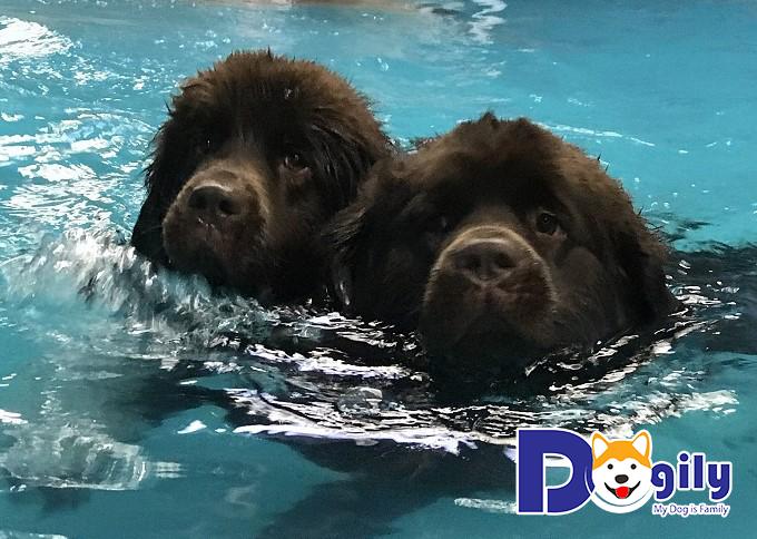 Hai chú chó Newfoundland đang tung tăng bơi lội