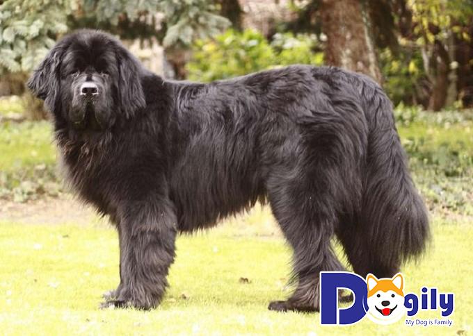Bộ lông dày và dài của giống chó khổng lồ Newfoundland