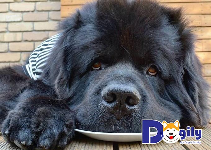 Giống chó Newfoundland có sức khỏe khá tốt nhưng một khi đã bị bệnh thì rất khó chữa trị