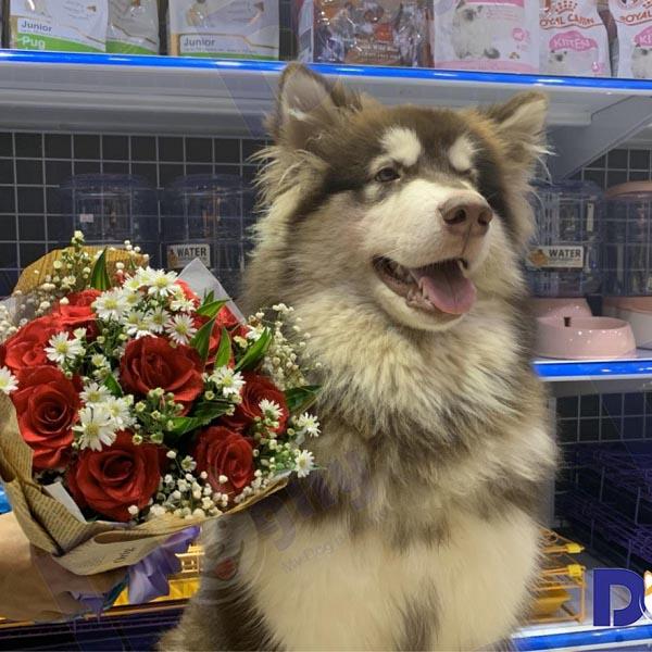 Hình ảnh chó Alaska khổng lồ tại Dogily Petshop