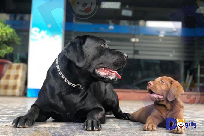 Các bé Lab đều được sàng lọc chất lượng gen, giống từ chất lượng chó bố mẹ qua nhiều thế hệ.