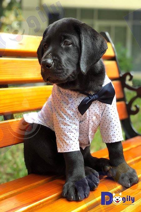 Bạn nên nuôi chó Labrador ngay từ khi còn nhỏ từ 2-4 tháng tuổi. Ở độ tuổi này cún cưng sẽ gắn bó và dễ huấn luyện hơn so với khi trưởng thành.