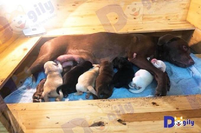 Ảnh: Chó Lab mẹ mới đẻ đang cho con bú.
