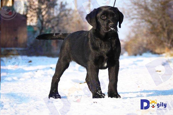 Ngoài nhân giống tại Trang trại Dogily Kennel, chúng tôi cũng nhận mua order chó labrador thuần chủng nhập khẩu từ châu Âu (Nga, Ucraina, Ba Lan...).
