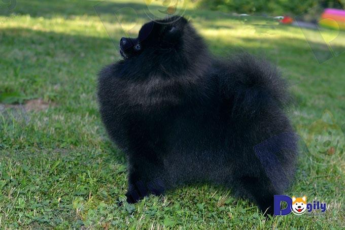 Chó phốc sóc màu đen tuyền cực hiếm 4 tháng tuổi nhập khẩu Liên Bang Nga. Đầy đủ giấy FCT, kiểm dịch hải quan. Bạn có nhu cầu order mua chó Pom nhập khẩu vui lòng liên hệ để biết thêm chi tiết.