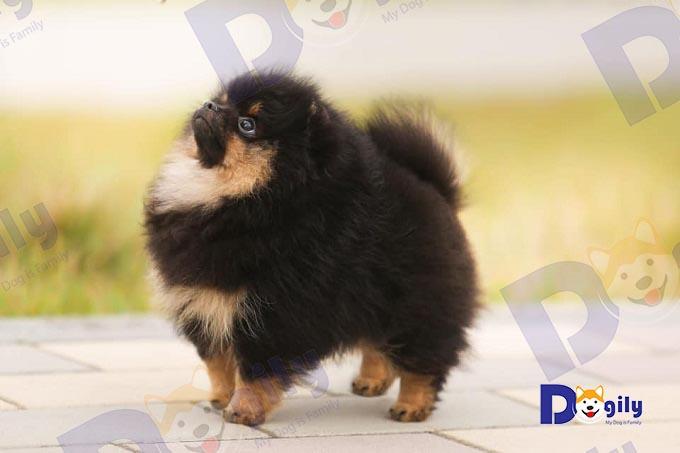 Ảnh: chú chó Phốc sóc Pomeranian màu Black & Tan (đen nâu vàng) đang được huấn luyện lệnh cơ bản. Pomeranian thường đạt giải cao hơn hầu hết các giống chó khác tại các Dogshow tổ chức ở Việt Nam.