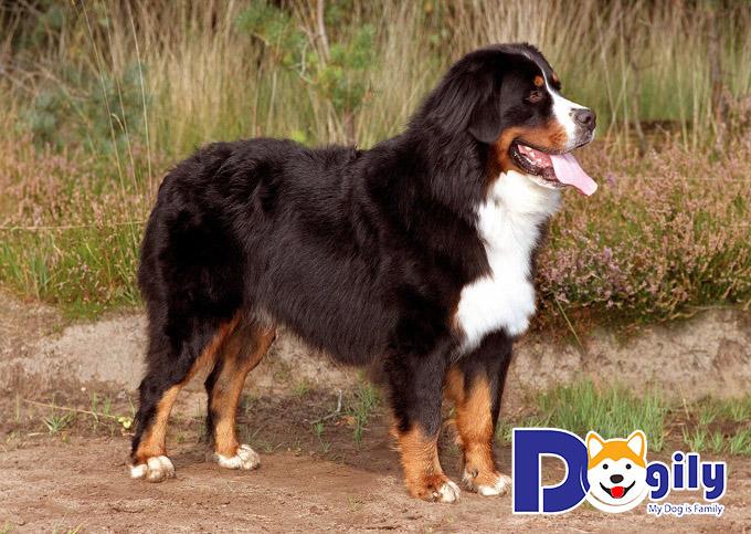 Chó Tam Sắc dáng đẹp