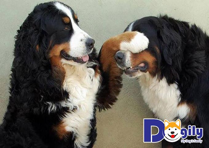 Huấn luyện chó Bernese Mountain Dog