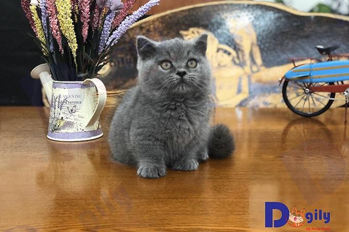 Bạn nên chọn mua mèo Munchkin chân ngắn từ những người bán có uy tín để tránh gặp phải các vấn đề về sức khỏe di truyền. Mèo bị tật lỗi hay bị các bệnh nguy hiểm như giảm bạch cầu, viêm giác mạc...