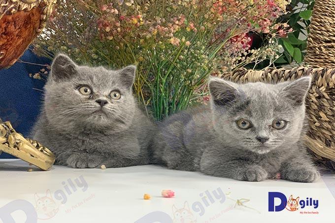 Bạn cần tìm hiểu kỹ trước khi nhận nuôi một chú mèo Munchkin. Tránh việc đem mèo về nhà không phù hợp lại mất thêm thời gian, tiền bạc và công sức