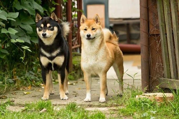 Giống chó Shiba-Inu Nhật Bản