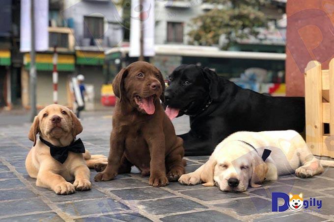 Labrador Retriever rất thân thiện và tình cảm. Ảnh: Một gia đình Lab đủ màu đen, vàng, kem, nâu socola tại Hà Nội