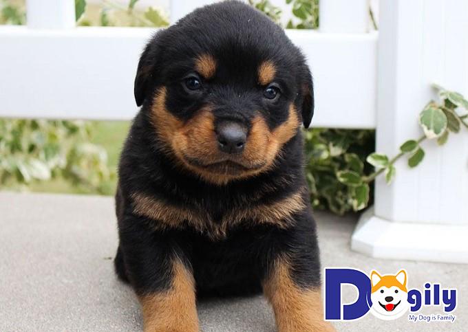 Hình ảnh chú chó Rottweiler 2 tháng tuổi