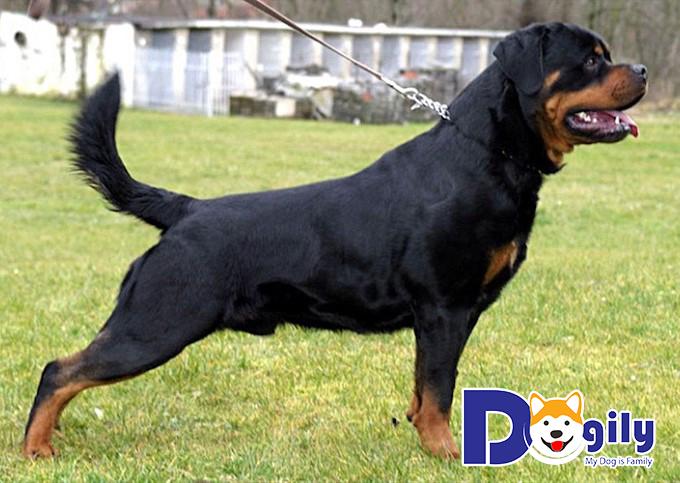 Mỗi chú chó Rottweiler trưởng thành có thể cao đến 60cm
