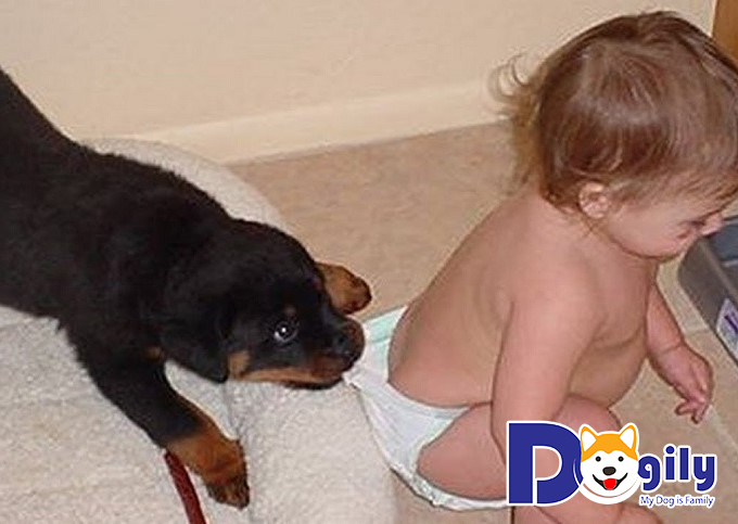 Chú chó Rottweiler đang chơi đùa bên chủ nhân nhỏ của mình