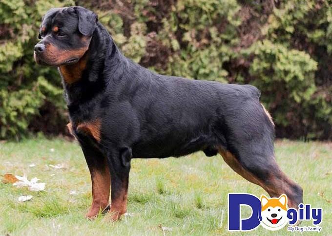 Hình ảnh chó Rottweiler hùng dũng tại trang trại của Dogily.vn