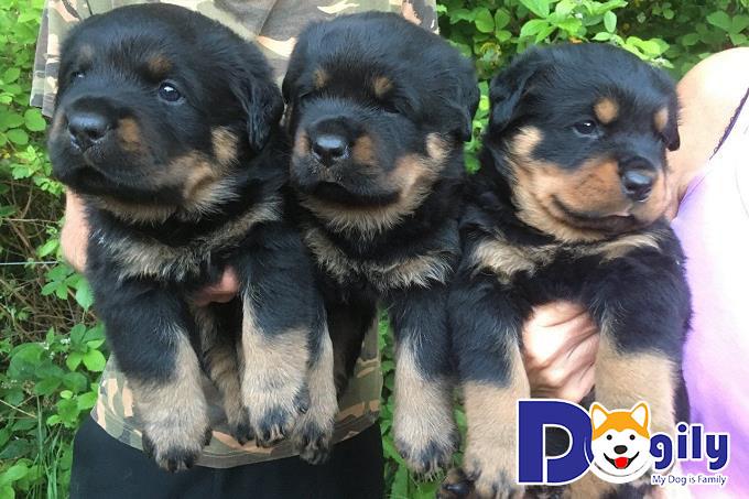 Đàn chó Rottweiler xinh xắn của Dogily.vn