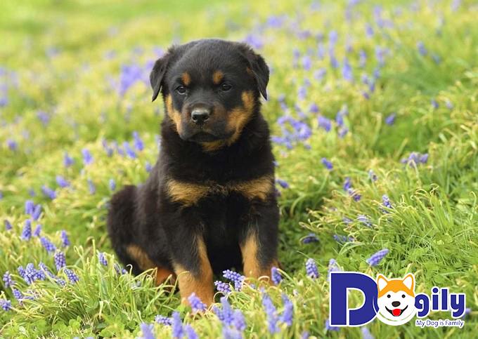 Hình ảnh chó Rottweiler con 2 tháng tuổi bên cánh đồng hoa
