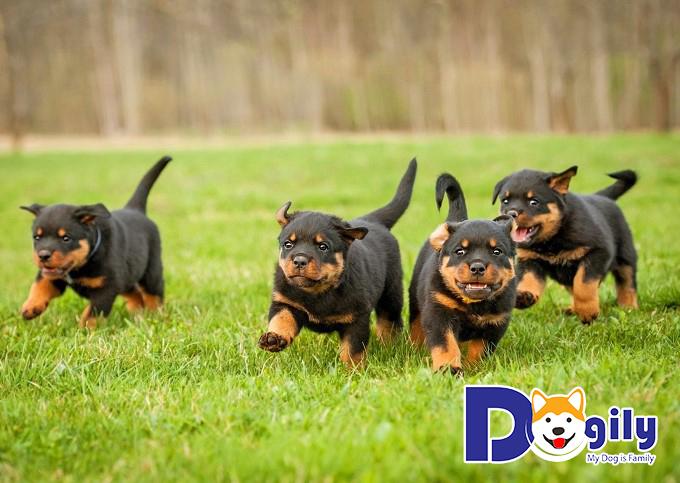 Hình ảnh chó Rottweiler với đôi mắt dễ thương đợi chủ