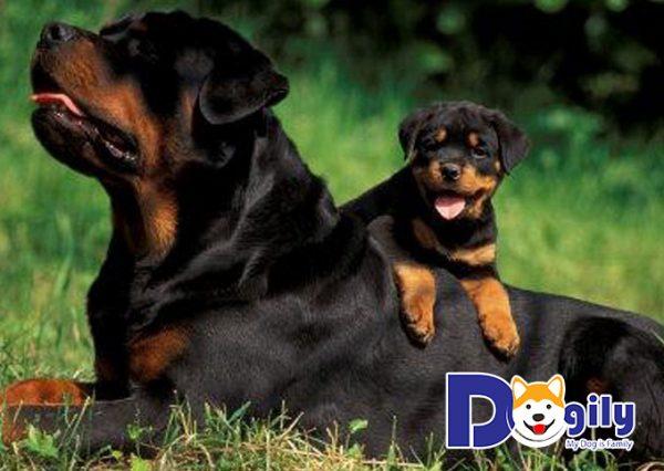 Chú chó Rottweiler cưỡi trên lưng chó mẹ