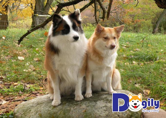 Huấn luyện chó Shetland