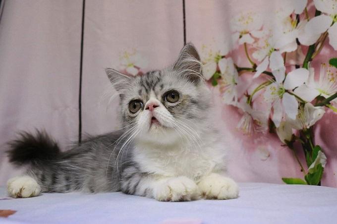 Mèo Himalayan nhà Dogily