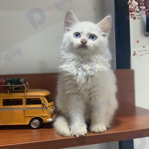 Những bé mèo dưới hai tuổi dễ mắc bệnh viêm phúc mạc