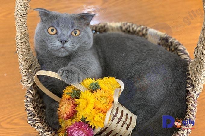Mèo Aln có màu mắt phổ biến màu vàng đồng như hổ phách.