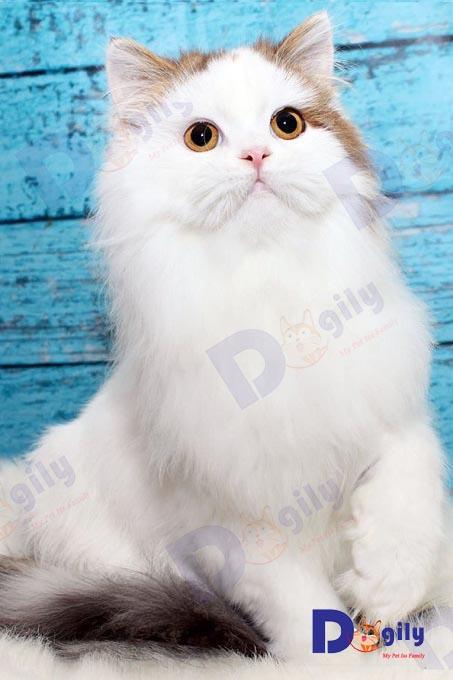 Mèo anh lông dài nhập khẩu dogily 5 tháng