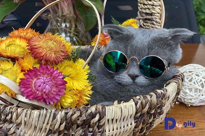 """""""Tiền nào, của đó"""", mèo Anh lông ngắn giá rẻ thường không đẹp mà chủ yếu là lai tạp hoặc lừa đảo."""