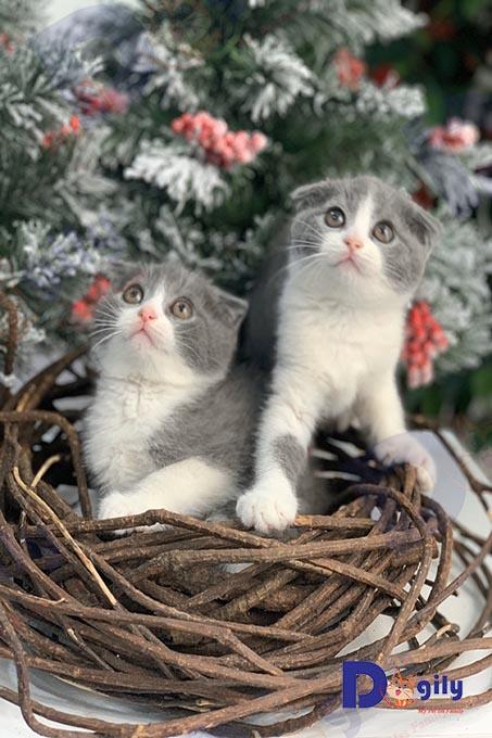 """Ảnh: Hai bé mèo Anh lông ngắn tai cụp Double Fold màu bicolor 2 tháng tuổi mặt """"cu"""" nhà Dogily."""