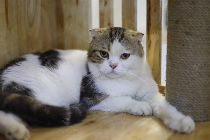 Mèo tricolor tam thể đực giống tai cụp