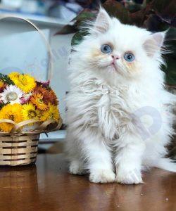 Một chú mèo Ba Tư nhập khẩu giới tính đực