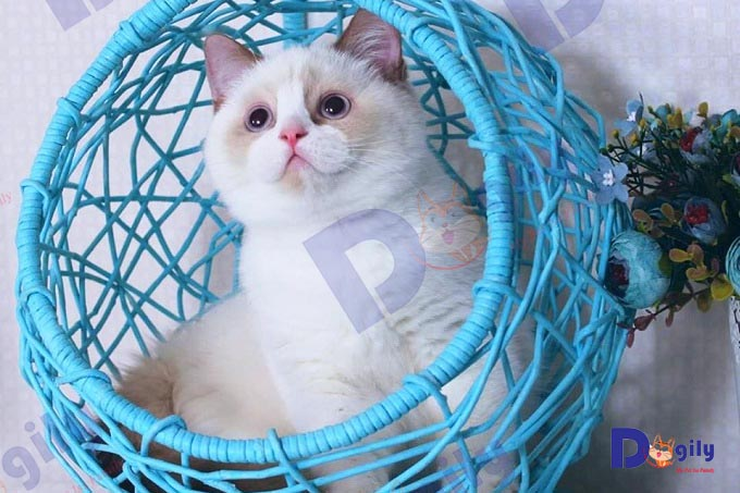 Bé mèo Hyma nhập khẩu Đức nhà Dogily