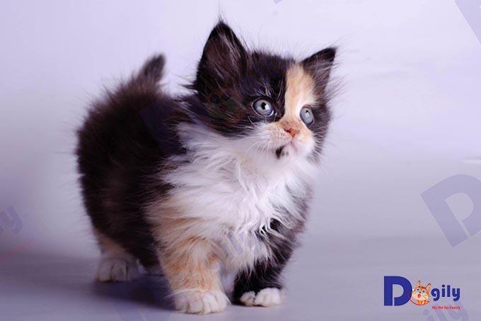 Bạn có thể đặt mua Order mèo Munchkin nhập khẩu từ các trại mèo lớn của châu Âu, Thái Lan... tại Dogily Pet shop. Ảnh: một bé mèo Anh chân ngắn lông dài màu tam thể cực hiếm nhập khẩu liên bang Nga.
