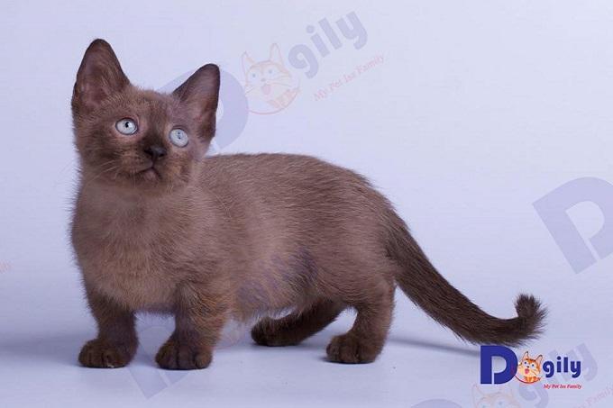 Oder mèo Munchkin nhập khẩu tại Dogily Petshop. Bạn có thể hoàn toàn yên tâm về chất lượng, độ thuần chủng với giấy tờ phả hệ rõ ràng. Chúng tôi cam kết đem những chú mèo lùn đẹp, lạ, hiếm nhất trên thế giới về Việt Nam.