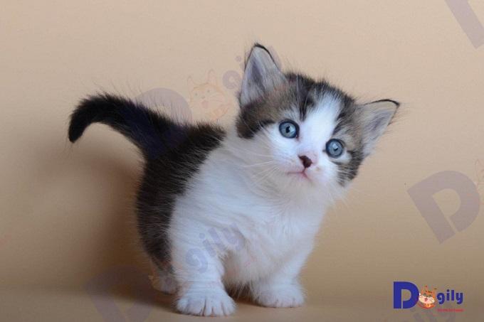 Một bé mèo lùn chân ngắn màu bicolor cực đẹp và đáng yêu nhập khẩu châu Âu.