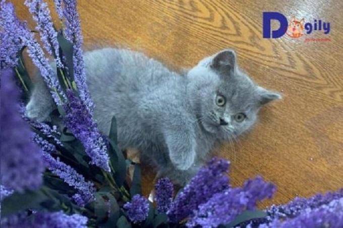 Mèo chân lùn xám xanh 2 tháng tuổi.