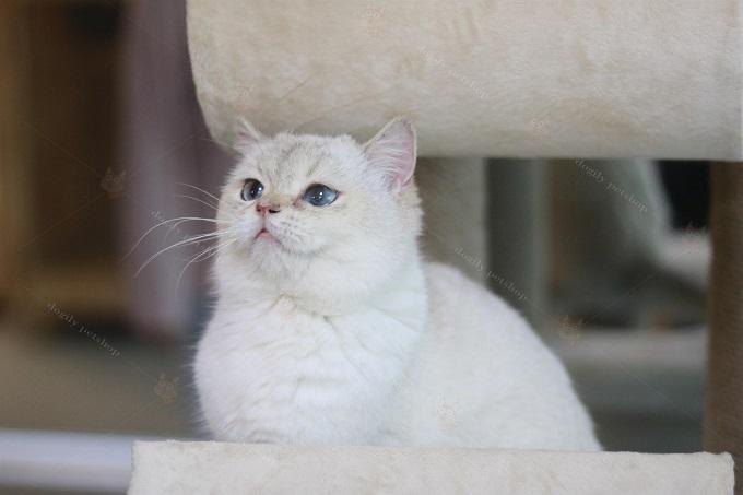 Mèo silver trưởng thành nhà Dogily